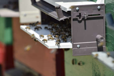apiary: Honey bees on the home apiary. The technology breeding of honey bees. Stock Photo