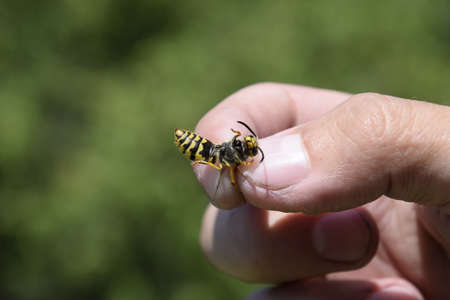 pinched: Common wasp on pinched fingers. Caught wasp.