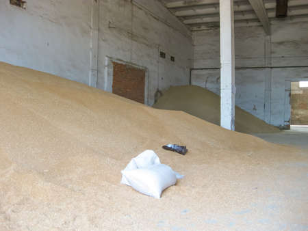processed grains: Heap of grains of barley and wheat in stock. Storage of grain crop before delivery to the consumer.