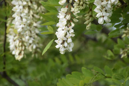 prickly flowers: Flowering acacia white grapes. White flowers of prickly acacia, pollinated by bees. Stock Photo
