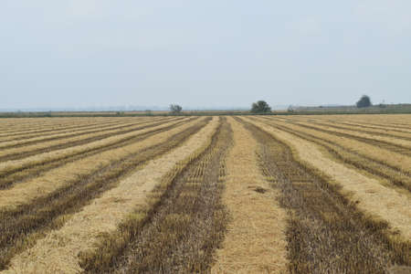rice harvest: Field rice harvest began. Field of rice in the rice paddies. Rice cultivation in temperate climates.