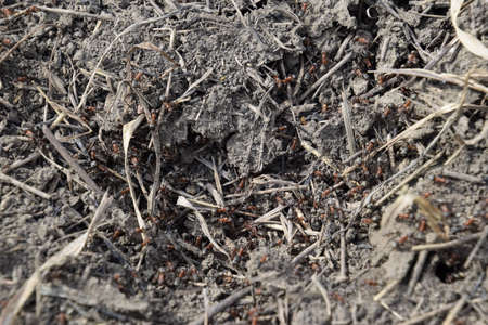 anthill: Ordinary ants on an anthill. Social insects. Stock Photo