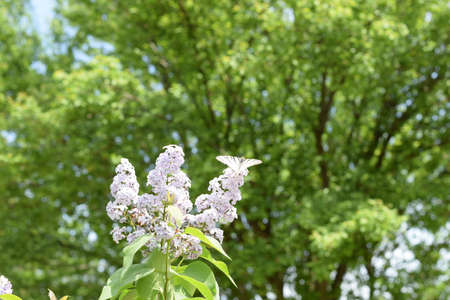 Butterfly white sailboat on the flowers of lilac. Insect pollinators.