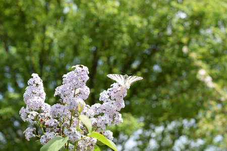 pollinators: Butterfly white sailboat on the flowers of lilac. Insect pollinators.