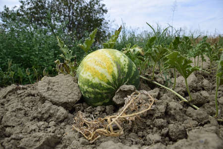 melon field: The growing water-melon in the field. Cultivation of melon cultures.