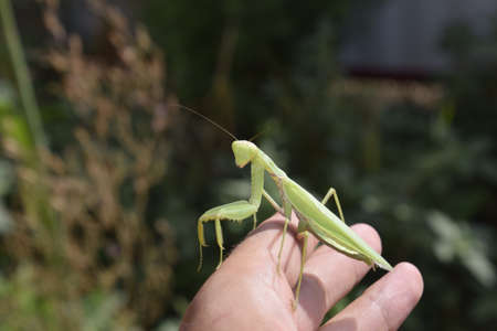 mantid: The female mantis religios. Predatory insects mantis. Huge green female mantis. Praying mantis on mans hand. Stock Photo