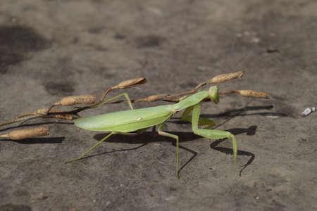 predatory: The female mantis religios. Predatory insects mantis. Huge green female mantis.