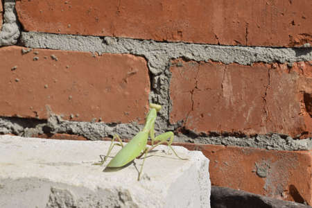predatory insect: Mantis, climbing on a brick wall. The female mantis religios. Predatory insects. Huge green female mantis.