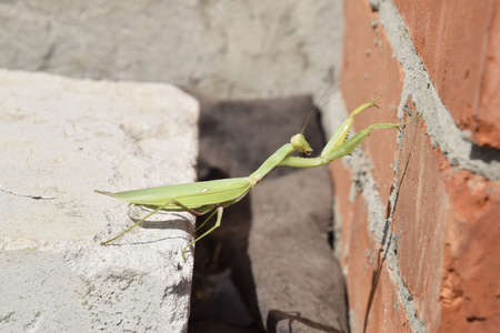 predatory: Mantis, climbing on a brick wall. The female mantis religios. Predatory insects. Huge green female mantis.