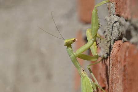 mantodea: Mantis, climbing on a brick wall. The female mantis religios. Predatory insects. Huge green female mantis.