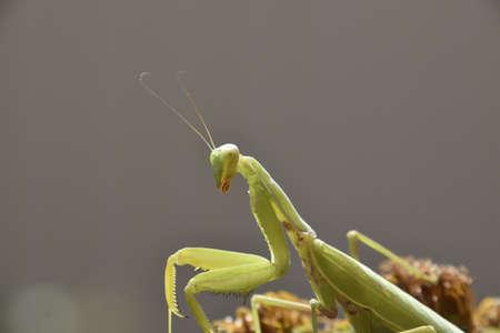 predatory: The female mantis religios. Predatory insects. Huge green female mantis. Stock Photo