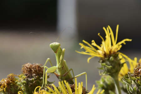 mantid: The female mantis religios. Predatory insects. Huge green female mantis. Stock Photo