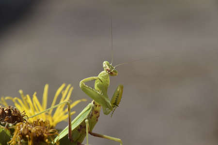 The female mantis religios. Predatory insects. Huge green female mantis. Stock Photo