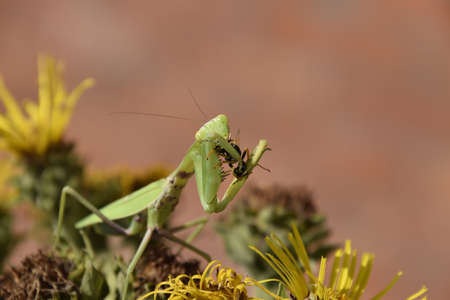 The female praying mantis devouring wasp. The female mantis religiosa. Predatory insects. Huge green female mantis.