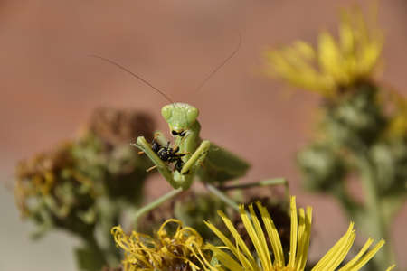 mantid: The female praying mantis devouring wasp. The female mantis religios. Predatory insects. Huge green female mantis.