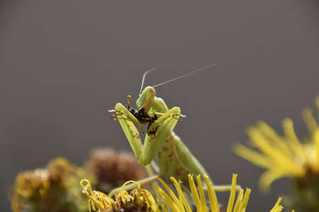 devouring: The female praying mantis devouring wasp. The female mantis religios. Predatory insects. Huge green female mantis.