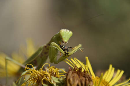 The female praying mantis devouring wasp. The female mantis religios. Predatory insects. Huge green female mantis.