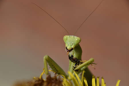 predatory: The female praying mantis devouring wasp. The female mantis religios. Predatory insects. Huge green female mantis.