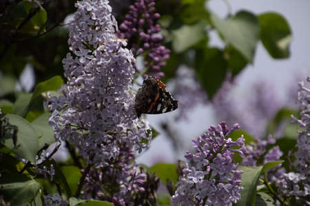 admiral: Lilac flowers on the branches of a butterfly admiral. Insect pollinators.