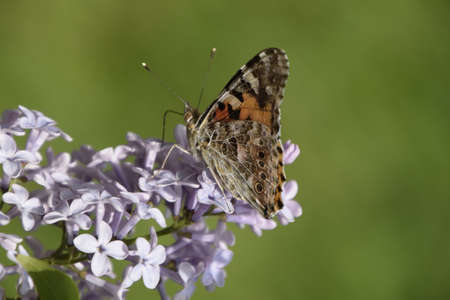 pokrzywka: Butterfly rash on lilac colors. Insect pollinators.