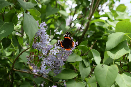 pollinators: Lilac flowers on the branches of a butterfly admiral. Insect pollinators.