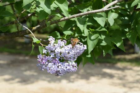 pokrzywka: Motyl wysypka na kolory liliowe. Owad pollinatorów.