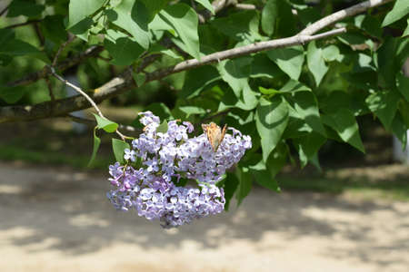 pollinators: Butterfly rash on lilac colors. Insect pollinators.