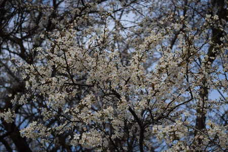 kuban: Blossoming of a cherry plum in a spring garden in Kuban in Russia