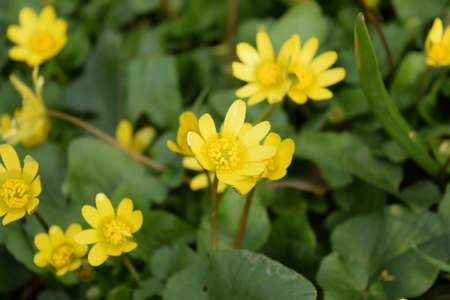 lesser: Lesser celandine flowers on the ground. Blooming yellow flowers. Ranunculus blossoms in spring close up