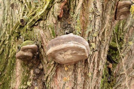 木の樹皮の火口菌。ツリーを腐敗菌 写真素材