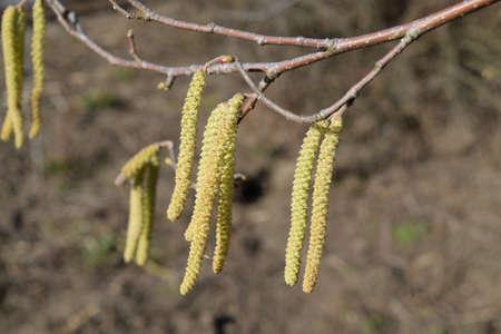 Flowering hazel hazelnut. Hazel catkins on branches. Stock Photo