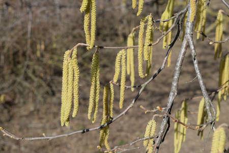 hazel branches: Flowering hazel hazelnut. Hazel catkins on branches. Stock Photo