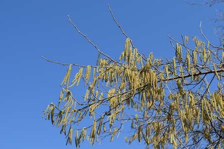 catkins: Flowering hazel hazelnut. Hazel catkins on branches. Stock Photo
