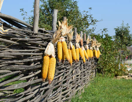 drying corn cobs: Hanging ears of yellow corn. Drying corn cobs outdoors.