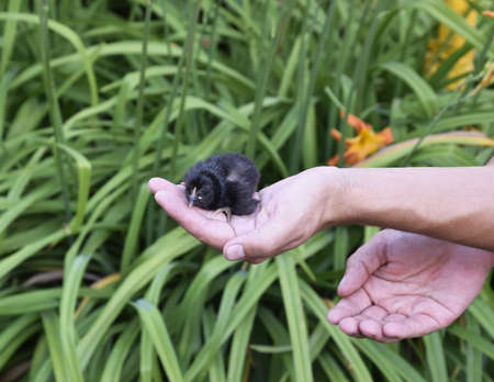 Chicken in hand. The small newborn chicks in the hands of man.