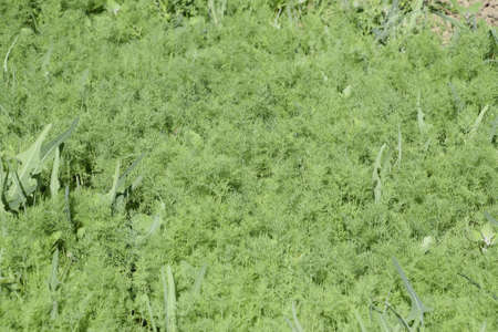 spicy plant: Growing dill in the garden. The bed of fennel. Stems and leaves are spicy dill plant culture.