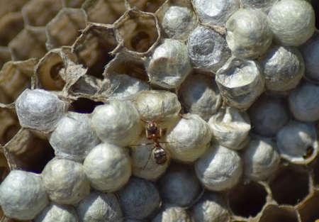 Ant on the abandoned hornets nest. Stock Photo