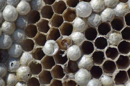 Wasp nest without wasps. Captured ravaged nest wasps. Honeycombs with larvae.