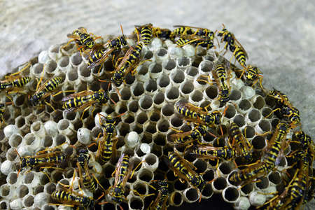 paunch: Wasp nest with wasps sitting on it. Wasps polist. The nest of a family of wasps which is taken a close-up.