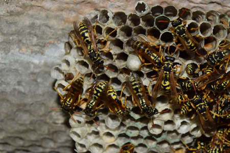 chitin: Wasp nest with wasps sitting on it. Wasps polist. The nest of a family of wasps which is taken a close-up.