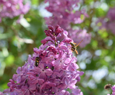 Bee and wasp on lilac. Shaggy fly on lilac colors. insect pollinator