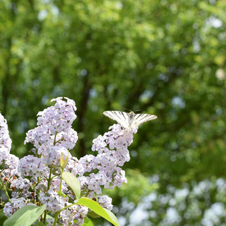 Swallowtail butterfly. Butterfly white sailboat on the flowers of lilac. Insect pollinators. Stock Photo