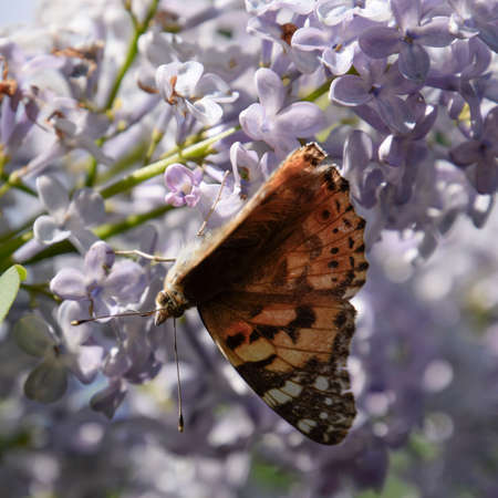 pollinators: Butterfly rash on lilac colors. Insect pollinators. Butterfly urticaria.