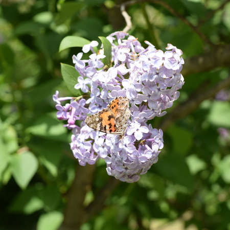 pokrzywka: Butterfly rash on lilac colors. Insect pollinators. Butterfly urticaria.
