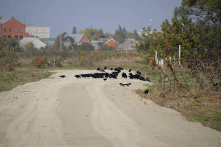 corvidae: Ravens sitting on the road in the group. Corvidae on the road in the field. Stock Photo