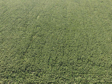 harrowing: Field of sunflowers. Aerial view of agricultural fields flowering oilseed. Top view. Stock Photo