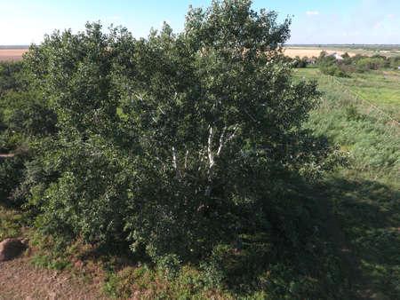 arbol alamo: Vista superior de un álamo plateado. El alto chopo.