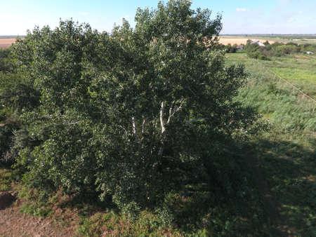 arbol alamo: Top view of a silver poplar. The high poplar tree. Foto de archivo