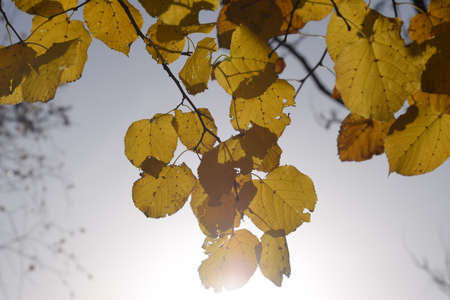 Yellow leaves of linden against the sky and the backlight. Autumn background from leaves of a linden. Yellow autumn leaves.