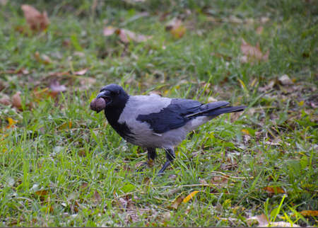 Crow holding an eagle in his beak. Hooded crow on the grass. A bird of the family Corvidae.
